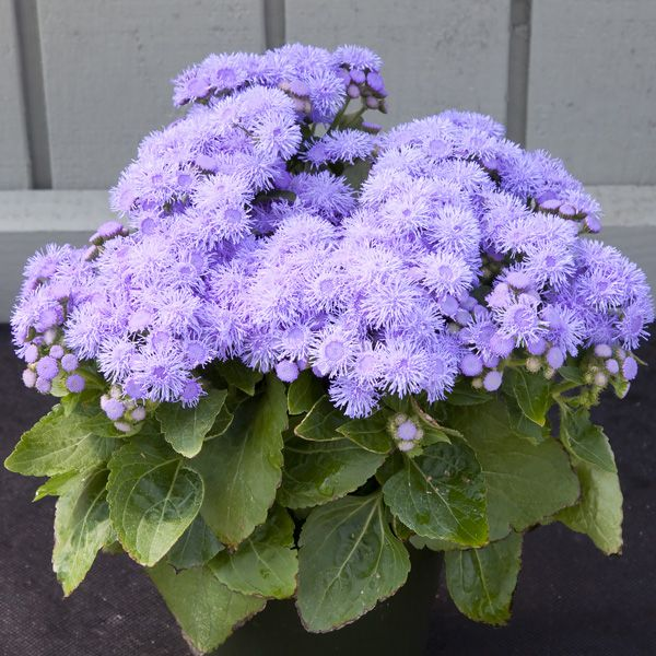 Cloud Nine Blue Ageratum Flower Garden Pictures Amazing Flowers Beautiful Flowers