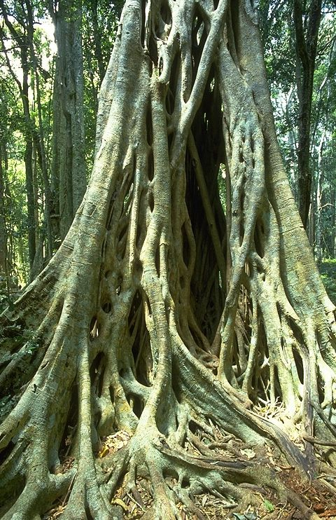 The strangler fig. . . not what I'd call beautiful but it has a habit of growing all over a host tree and is found in rainforests. These trees are huge, you could make a home in the bottom roots. Awesome!
