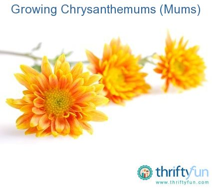 This guide is about growing chrysanthemums. A popular fall garden flower, mums grow well in containers.