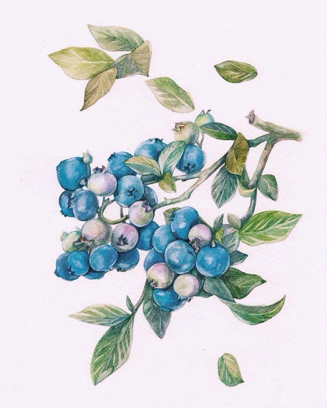 Blueberries  Watercolor