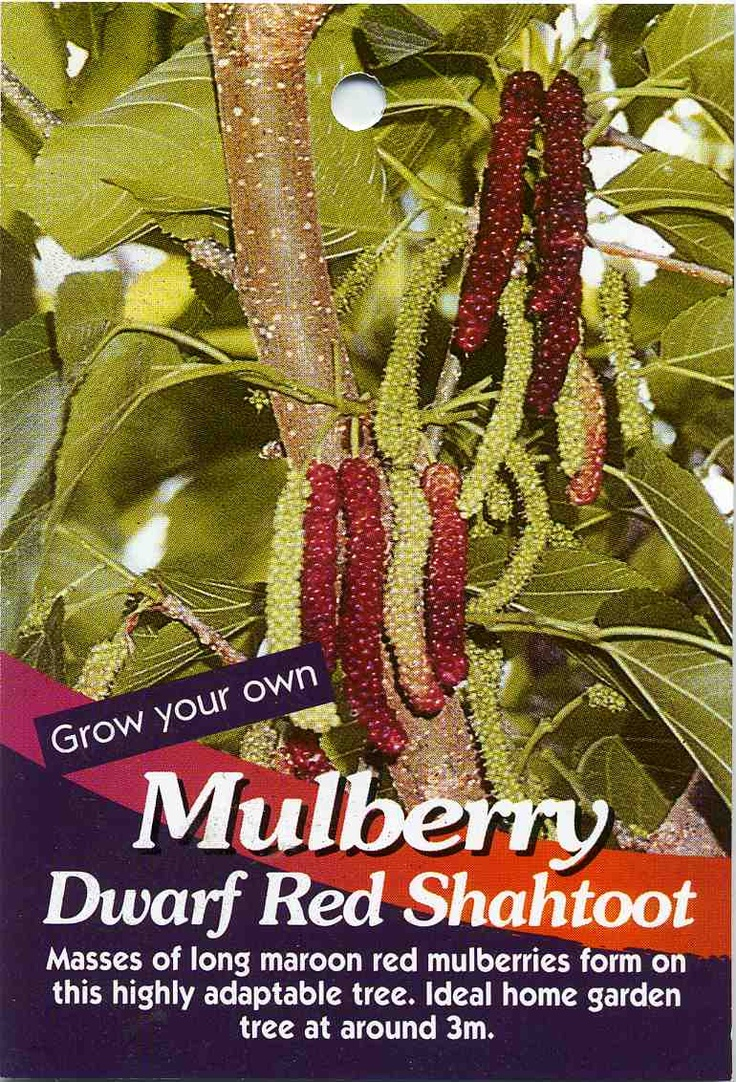 Mulberry Dwarf Red Shahtoot Morus Macroura Buy Mulberry Dwarf Red