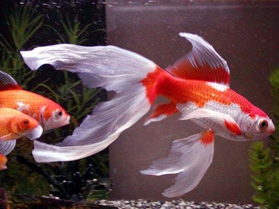Goldfish long finned comet goldfish for the pond for Koi fish tail