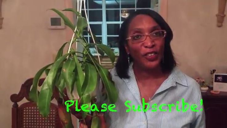 Caring For Your Tropical Pitcher Plant (Nepenthes)