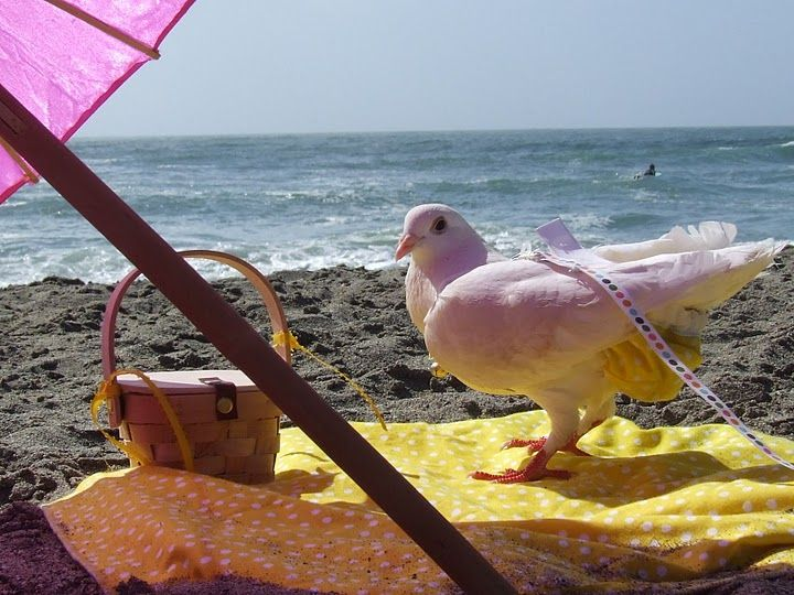 This is my pet homing pigeon called Mandee.   She was rescued from ACCSF (animal shelter) and her flight and tail feather were chopped.  We think she was a magic trick pigeon because she was so tame.   She is wearing a yellow pock-a-dot Pij-kini and likes to take long walks on the beach,