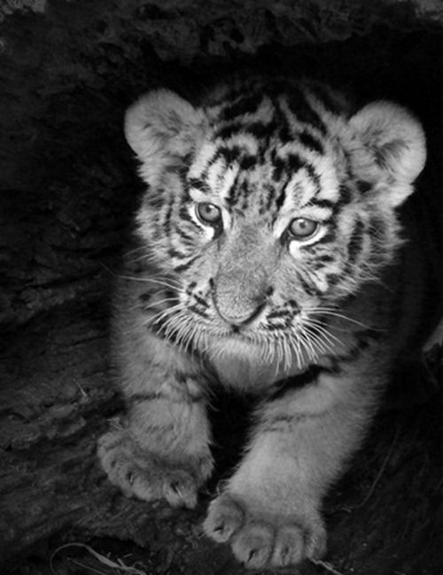 Black and white baby tiger black and white baby tiger