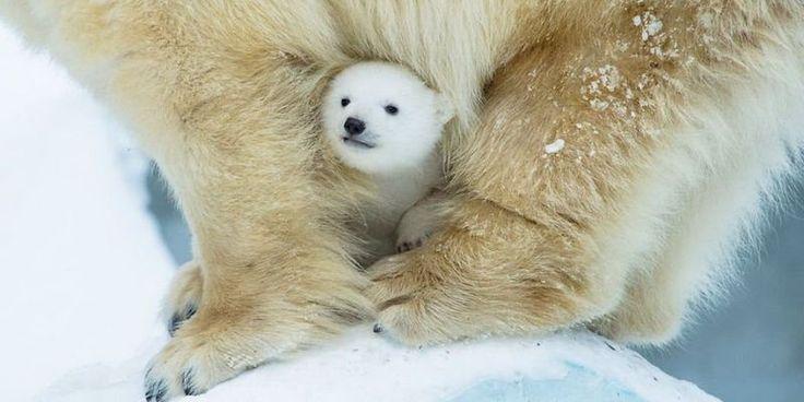 Фото: Очаровательные полярные медвежата растопят ваше сердце (Фото)