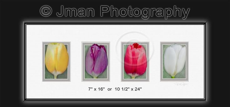 Tulip Flower Series Image _ Ready To Hang Flower Photo Wall Art Decor