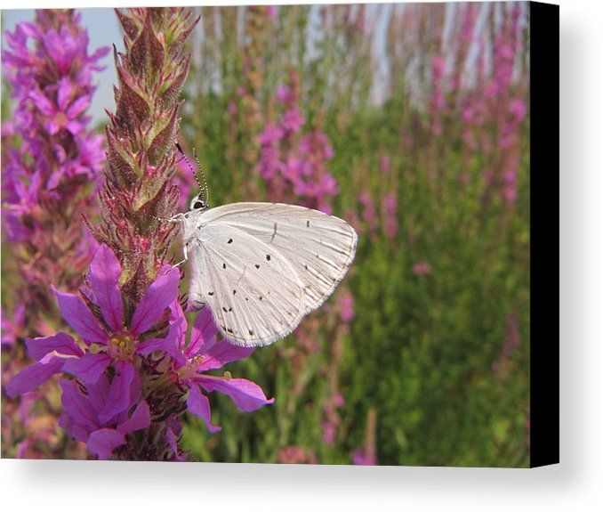 Butterfly Canvas Print featuring the photograph Small White Butterfly by Gianalbert Oliv