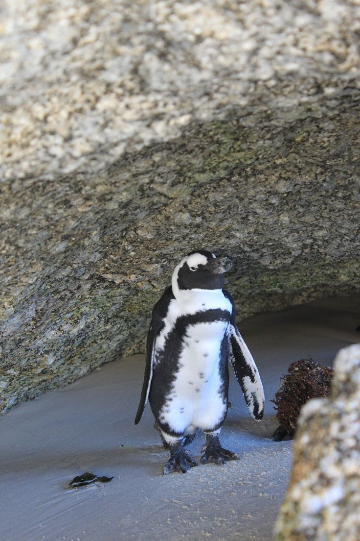 Penguin hiding, Boulders Bay, Cape Peninsula
