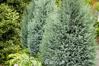Blue Surprise Port Orford Cedar - The Guardian™ Series  Chamaecyparis lawsoniana 'Blue Surprise'  Silvery blue, mostly juvenile needle-like foliage forms a dense, narrow spire. A beautiful accent for low shrub borders or specimen in formal gardens. This new Chamaecyparis lawsoniana variety is grown on a root stock that is resistant to Phytophthora lateralis - a disease that has caused the demise of many lawsoniana's over the last two decades. This rootstock was developed by Oregon State Univ...