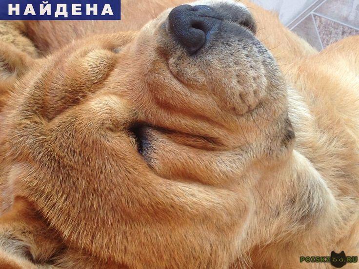 Найдена собака г.Краснодар http://poiskzoo.ru/board/read26160.html  POISKZOO.RU/26160 Найдена короткошерстная чау-чау ( смуф)  РЕПОСТ! @POISKZOO2 #POISKZOO.RU #Найдена #собака #Найдена_собака #НайденаСобака #Краснодар