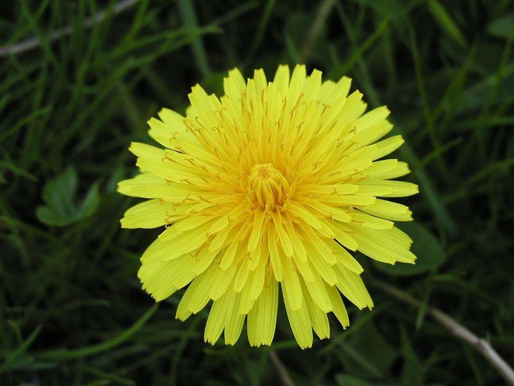 I když se pampeliška považuje za plevel, její kořen má dlouhou historii léčebného použití. Ve skutečnosti je velmi prospěšná a schopná léčit alergie.