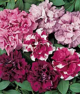 Islands Mix Petunia Seeds and Plants, Annual Flower Garden at Burpee.com
