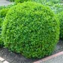 The Low-Maintenance, Fragrant Evergreen - The Green Velvet Boxwood retains the upright, rounded shape you'd expect from a boxwood on it's own, with little to no pruning from you.     This evergreen shrub boasts deep green, glossy leaves all year, making it attractive in all four seasons.      In the spring, you'll enjoy its tiny white...