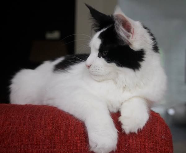 Maine Coon, Black Solid & White (n 09). Pillowtalk Sweet Domino