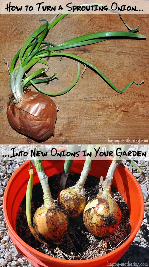 Regrowing onions #gardens #naturalhome