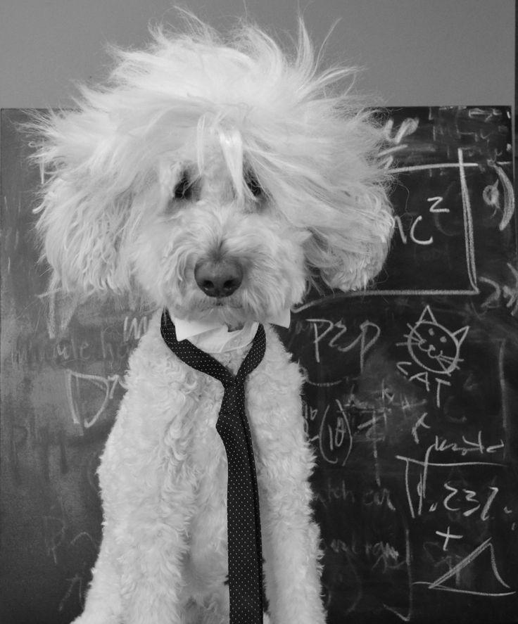 Allbark Einstein Goldendoodle Halloween Costume; Toby the Goldendoodle