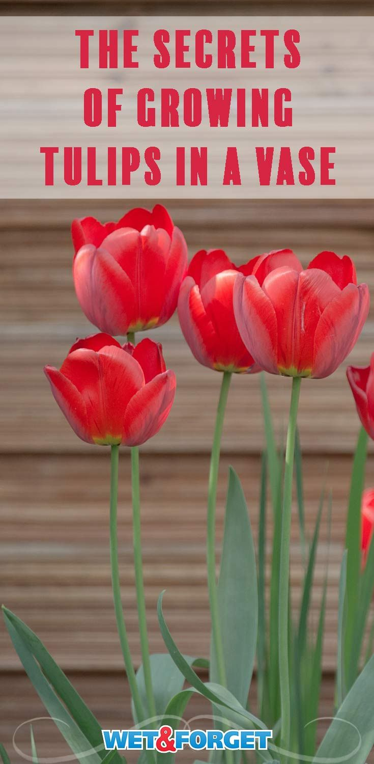 The Secret To Growing Tulips In A Vase Growing Tulips Tulips Tulip Care