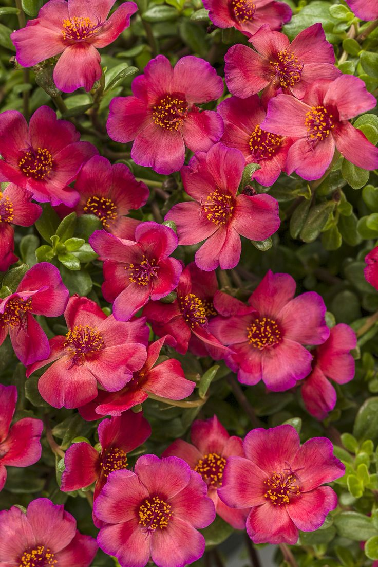 Mojave Red Portulaca is a tough and durable succulent on which red blooms will appear all season long. http://emfl.us/a2Ld