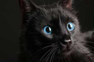 schwarzes Kätzchen mit blauen Augen – Google Search