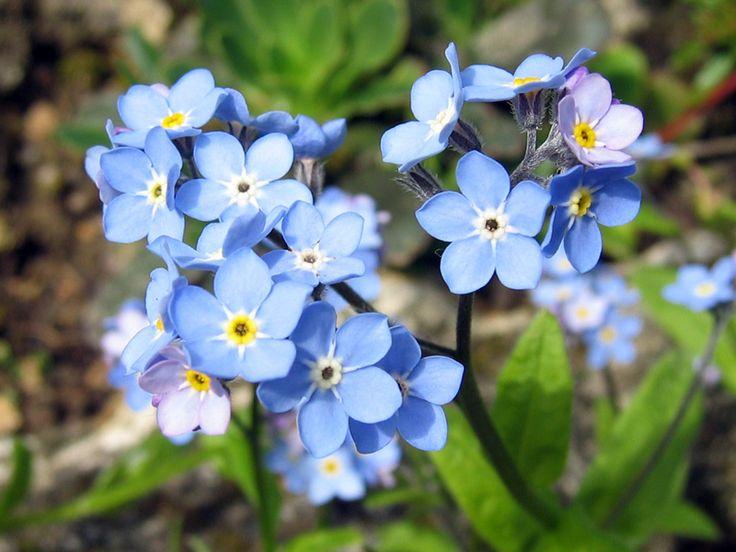 Les 25 meilleures id es concernant myosotis sur pinterest - Fleurs qui poussent a l ombre ...