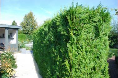 Lebensbaum 'Brabant'  Der Thuja occidentalis 'Brabant' (Lebensbaum 'Brabant') ist einer der stärksten Lebensbäume, der sich sehr gut zur Verwendung als Heckenpflanze eignet. Dieser Lebensbaum ist anspruchslos in der Pflege und wächst unter den meisten Bedingungen problemlos