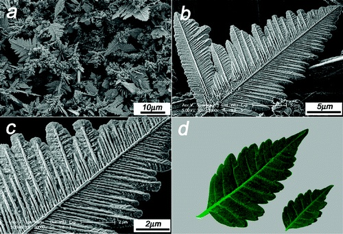 A typical low-magnification FESEM image showing the high yield and good uniformity; (b) FESEM image of a single Ni dendritic microleaf; (c) a high magnification image of a single Ni dendritic microleaf in (b); (d) illustration of leaves. || credit goes to Jing Ye , Qian-Wang Chen *, Hai-Ping Qi and Nan Tao || Formation of Nickel Dendritic Crystals with Peculiar Orientations by Magnetic-Induced Aggregation and Limited Diffusion