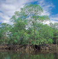 Los manglares de la región, conjuntamente con los de Bazar, Sanquianga y el sur de Buenaventura, son los que mejor se conservan en el Pacífico colombiano. En esta zona, llegan a medir hasta   40 m de altura.