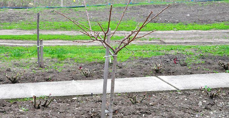 De ce se fac tăierile la pomi | Paradis Verde