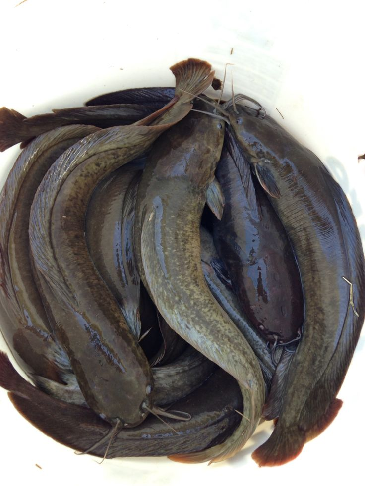 These are chinese catfish that we grew out in our 250 gallon tank. We pulled about 20lbs of fish and sold them to a local fish store here in Hawaii for $5.00 a pound. They sold out in less than a day.