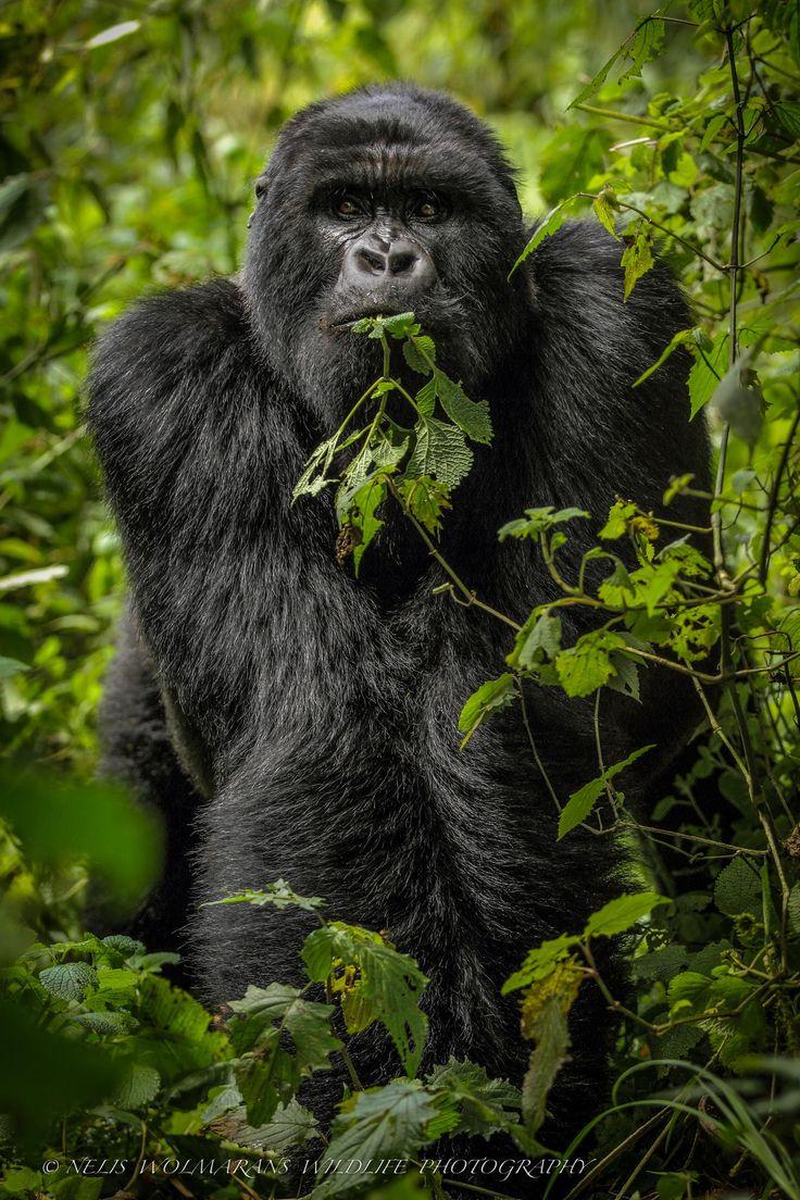 Animal kingdom coloring book gorilla - Mountain Gorilla Virunga Rwanda