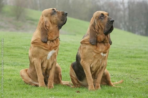The bloodhound dog is the only animal whose evidence is admissible in US courts.