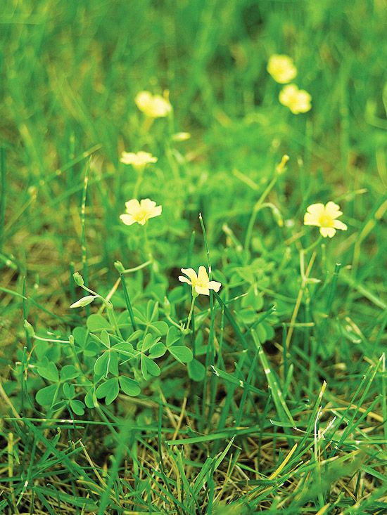 147 best images about lawncare lawn weeds and weedy for Grass like flowering plants