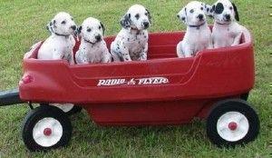 dalmatian puppies for sale in ga