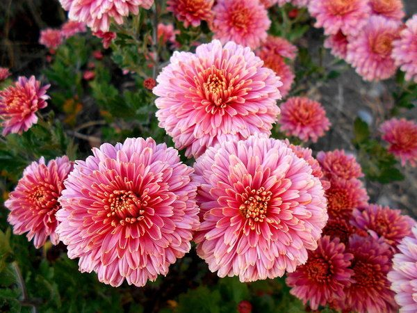 Lovely Print featuring the photograph Lovely Pink Chrysanthemums by Erika H