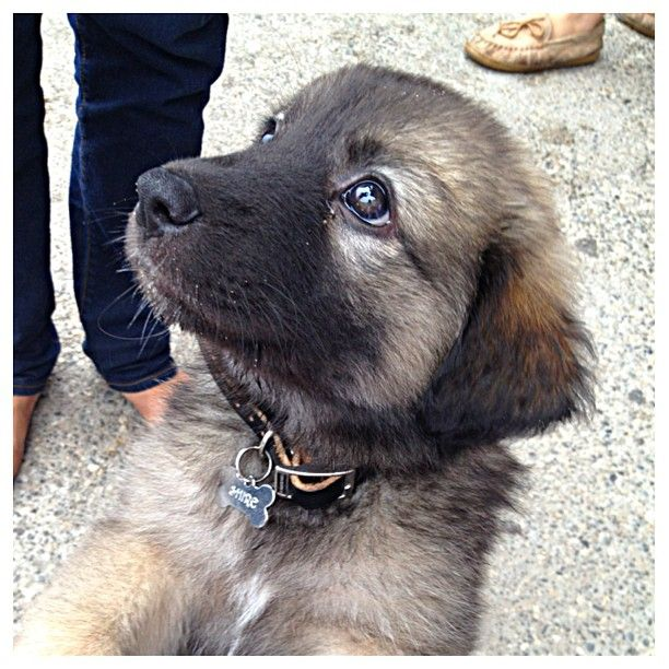 Say hello to Shire, the adorable American Alsatian puppy!  Congrats to @kendalljksmith & thanks for posting!