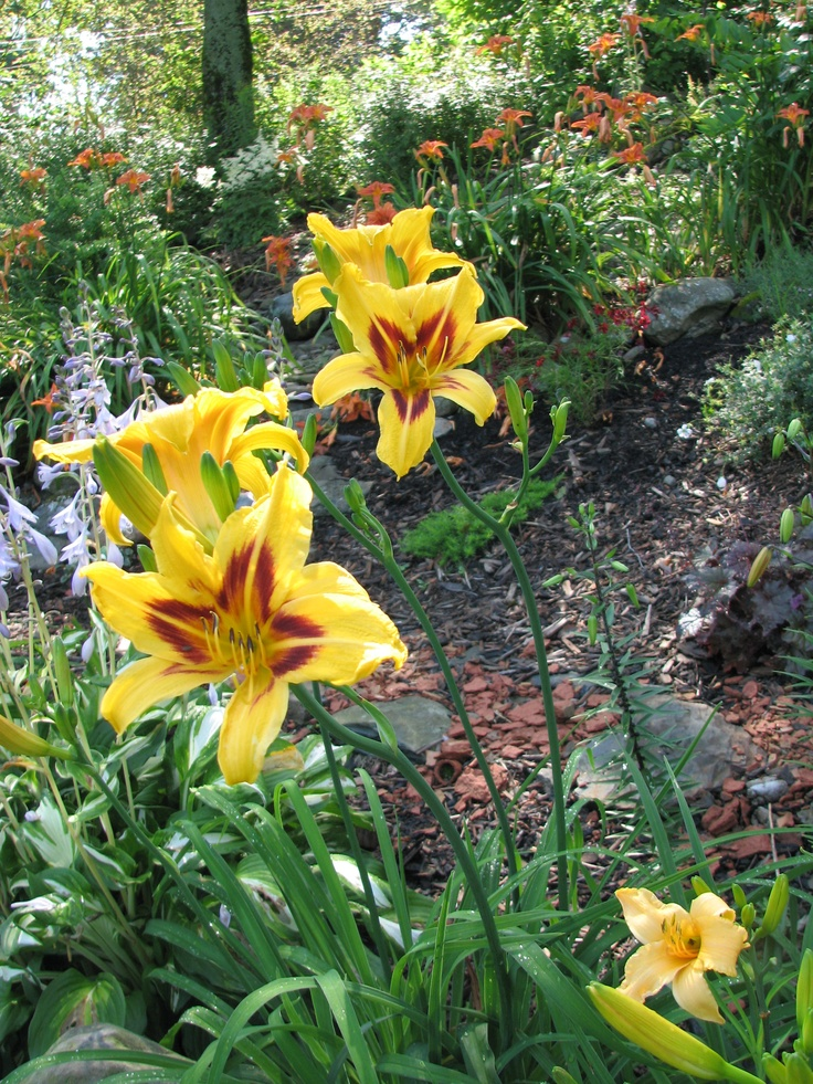Some of several varieties of daylilies  http://www.mervedinger.com