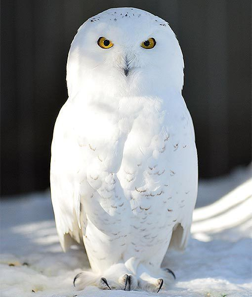 A snowy owl is pictured at the Bronx Zoo in New York after an intense snow storm on Feb. 9 in the Bronx borough of NYC. So beautiful!