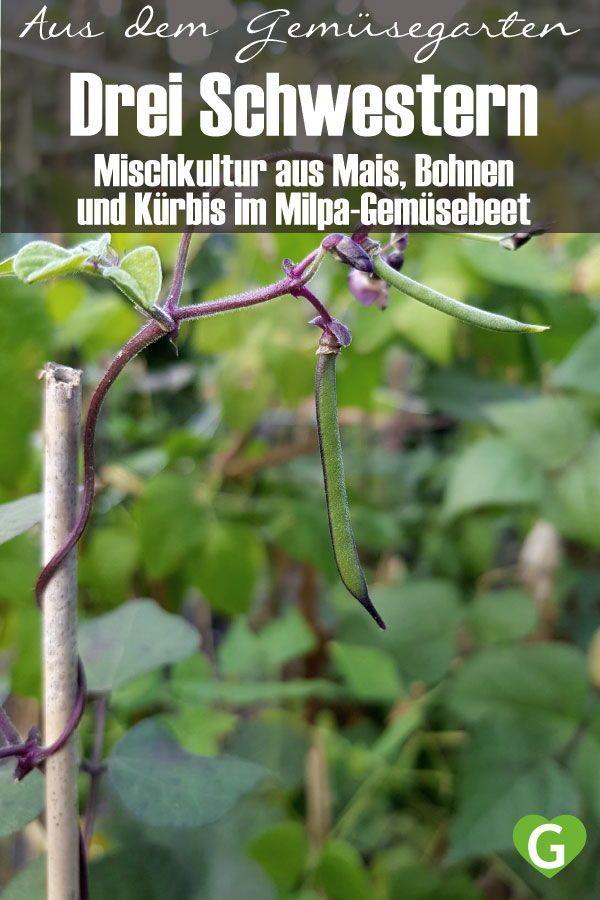 Die Drei Schwestern Mischkultur Im Milpa Gemusebeet Gruneliebe In 2020 Pflanzen Stangenbohnen Pflanzen Mischkultur