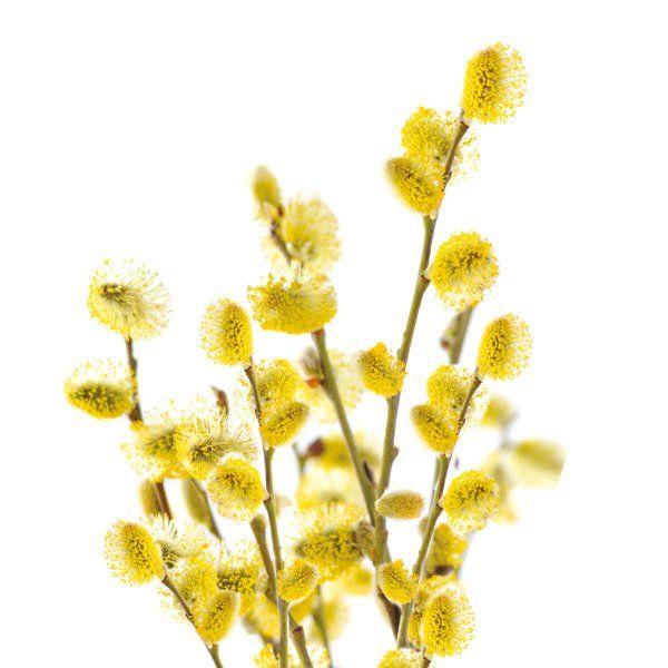 Wierzba Iwa - Salix caprea 'Kilmarnock'