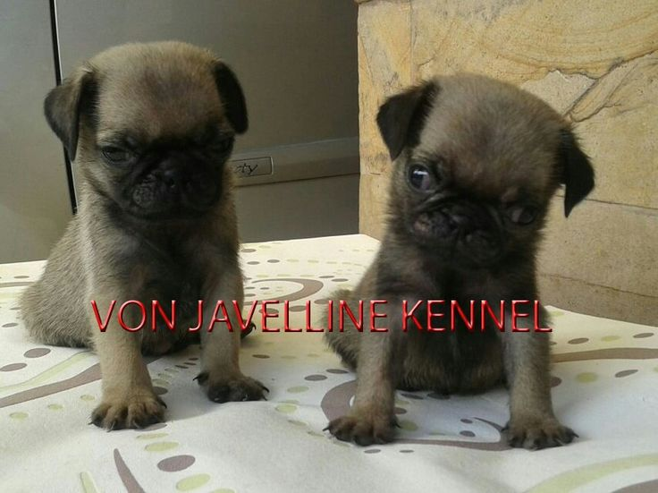 Jual Anak Anjing PUG  2 Male  DOB 17 MARET 2016  -Stamboem On Progress -Vaksin -Obat cacing teratur  More info : Anni PIN BB 51A22388 Whatsapp 081572985289  Nita PIN BB 5C744007  NO SMS,NO PHP SERIUS BUYER ONLY  Available video and pic for seriously buyer  Terima kirim keluar kota (garansi hidup sampai tujuan) ongkir ditanggung Buyer  www.vonjavellinekennel.wordpress.com www.breederanjingras.blogspot.com www.facebook.com/VonJavellineKennel  Gabung di BBM channel C00160FF7