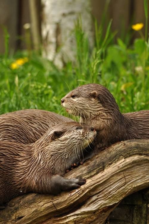 Many otters mate for life and sometimes they hold hands while sleeping in the water to avoid drifting apart.