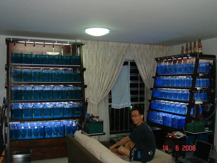 Swordtail Guppies Breeding Rack Systems Automation For