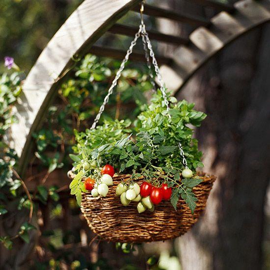 tomato in hanging basket