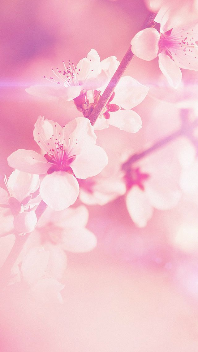 Cherry Blossoms In Spring Wide Desktop Background wallpaper free