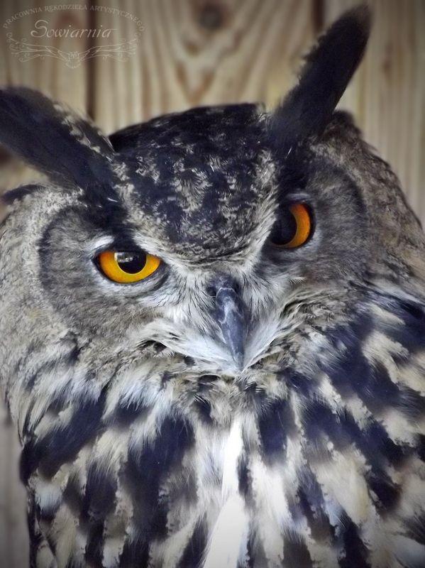 Puchacz / Eagle owl / Bubo bubo