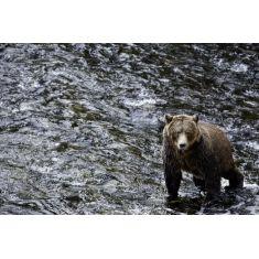 Grizzlybären in Glendale Cove, Bär läuft durch Wasser, Fotograf: B. Sönnichsen #Fototapete #Merian #Wasser #Bär #Grizzly ##Glendale #MerianBildservice