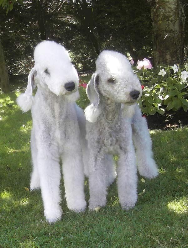♥The Bedlington Terrier originates from the town of Bedlington, Northumberland, England and was bred originally for hunting badgers, rats and mice. It's origins can be dated back to the 1800's.