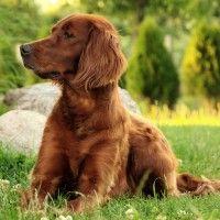 #dogalize Razze cani: il cane Setter Irlandese carattere e prezzo #dogs #cats #pets