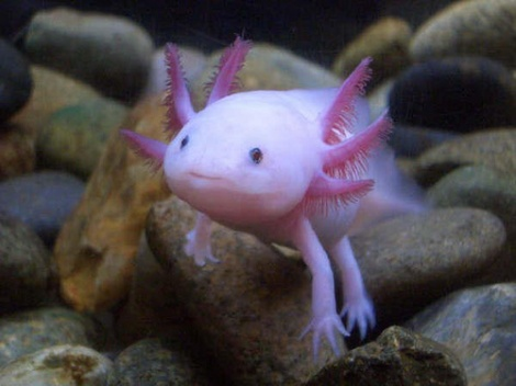 This might just be the cutest endangered animal ever